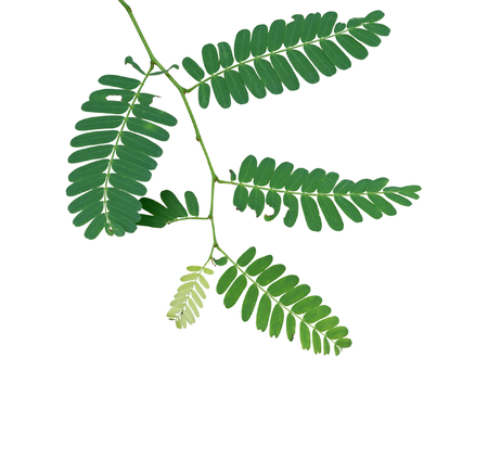 tamarind leaf isolated on white photo
