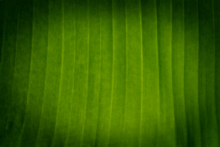banana tree green leaf closeup for background