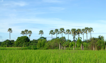 toddy palm in rice field photo