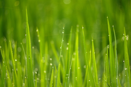 close up of morning dew on rice field photo