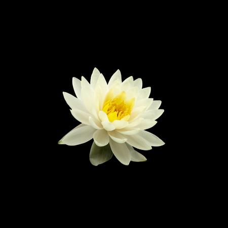 lirio blanco: blanco nenúfar aislado sobre fondo negro
