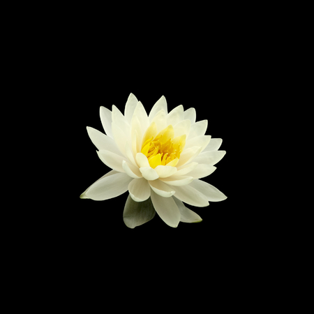 black and white background: white water lily isolated on black background