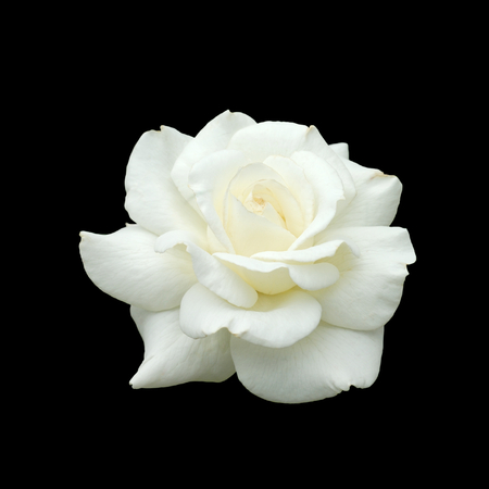 single object: white rose isolate on black background Stock Photo