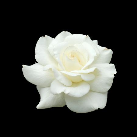 witte roos isoleren op zwarte achtergrond Stockfoto