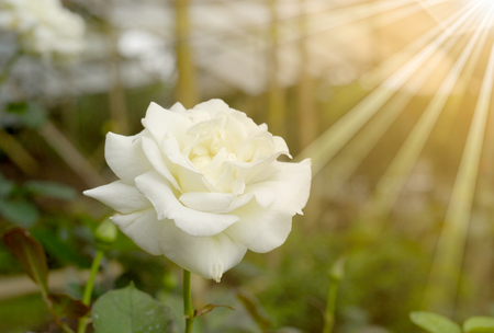 white rose with rays of light photo