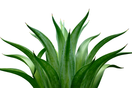 agave isolated on white background Banque d'images
