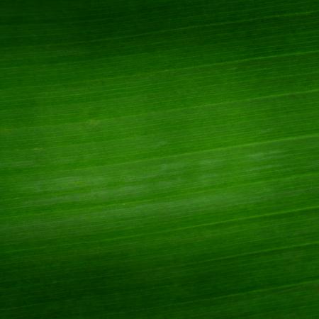 textura: Close up da folha de banana para o fundo Banco de Imagens