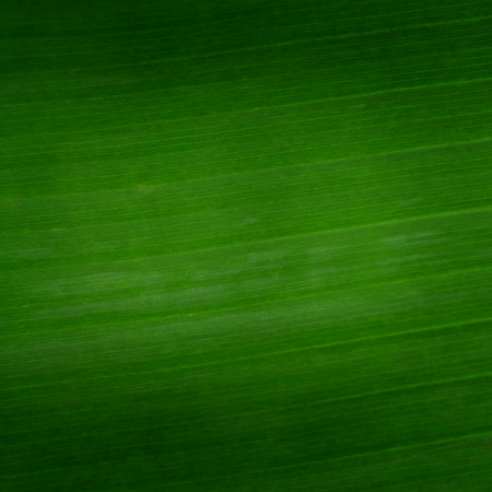 banana leaf closeup for background