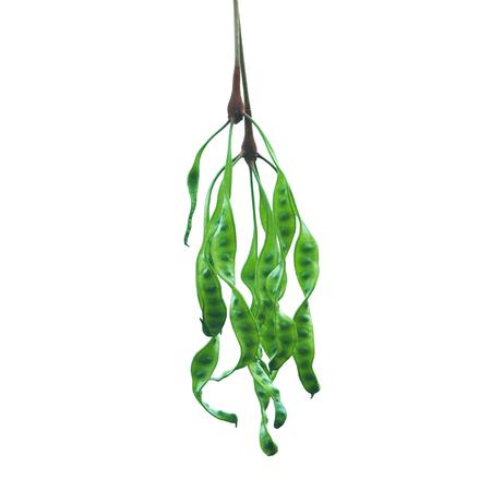 stinking: stinking beans (Parkia Speciosa) isolated on white background