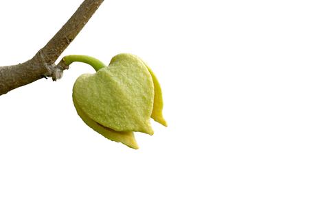 annona: Soursop or Prickly Custard Apple flower. (Annona muricata L.) on white background