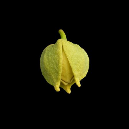 annona: Soursop or Prickly Custard Apple flower. (Annona muricata L.)  on black background