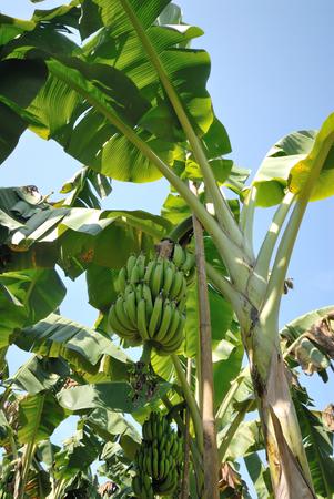 musa: bunch of Musa acuminata banana on tree