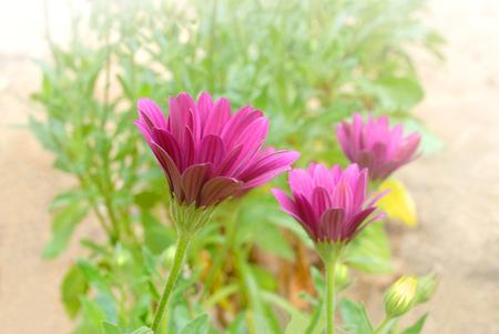 marguerite: Gros plan de pourpre fleur de marguerite Banque d'images
