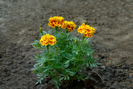tagetes: Yellow Marigolds flower (Tagetes erecta, Mexican marigold, Aztec marigold, African marigold)