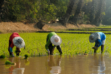 transplant: farmers transplant rice seedlings in paddy field