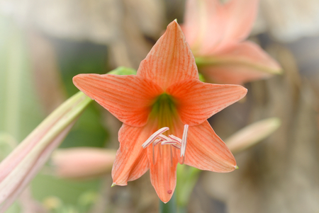 Hippeastrum Amaryllis flowers, selective focus