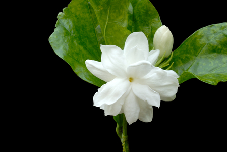 Jasmine flower isolated on black background