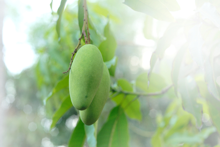 green mangoes on the tree