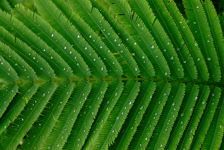cha om: Climbing wattle green leaf with water drops closeup for background. Stock Photo