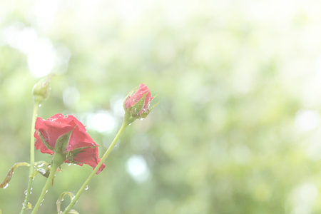 Blooming roses and buds with water drops after the rain in the garden.