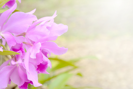 Purple orchid blooming in the garden. Selective focus and soft light.
