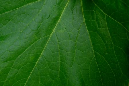 Green leaf closeup for background. Winter melon leaf.
