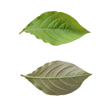 Front and back green leaf isolated on white background Stock Photo
