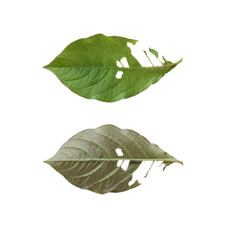 The front and back of a green leaf with worm eaten.Isolated on white background.