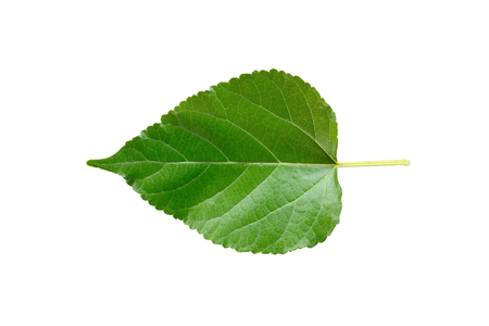 Green mulberry leaf isolated on white background.