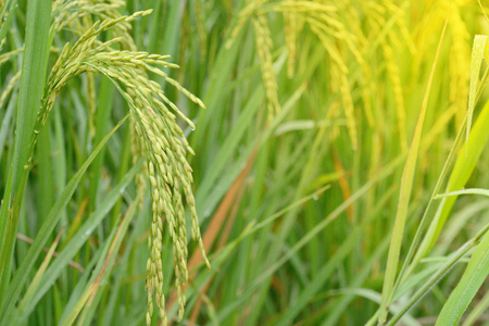 Rice spike with water drop in rice field on the morning.Selective focus.