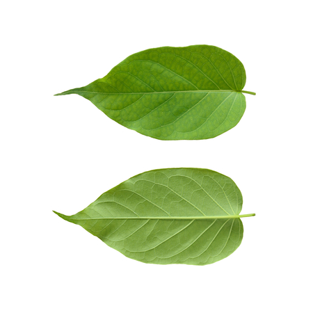 Gymnema sylvestre leaf isolated on white background.(Perrpioca of the woods)