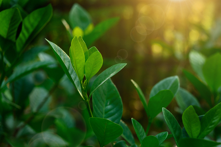 Green leaves in the forest with orange sunlight and flare. Stock Photo