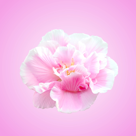 Pink Cotton rose on pink background, Confederate rose flower(Hibiscus mutabilis L).