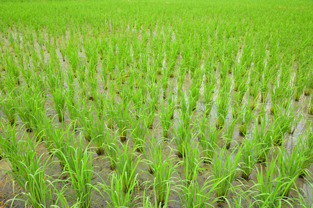 Young rice growing in the paddy field, Thailand.