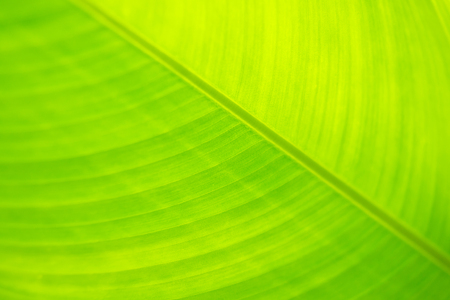 Banana leaf closeup for background. Selective focus.