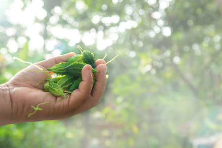 Bitter gourd fruits in hand with nature light bokeh background. (balsam apple, balsam pear, bitter cucumber, bitter gourd, bitter melon) 版權商用圖片