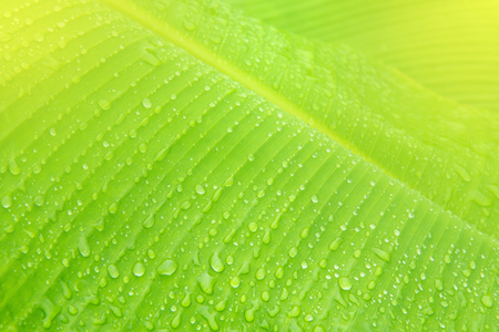 Banana leaf closeup with water drops after the rain. Stock Photo