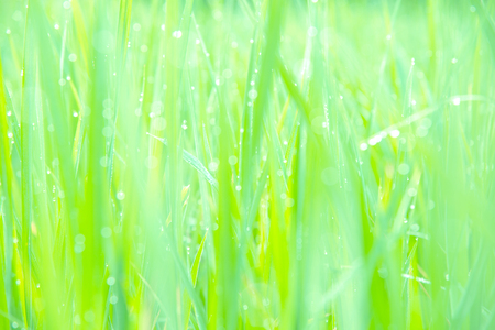 Blurred green rice leaves. Soft focus of natural green background in the morning.