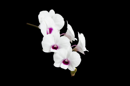 White Dendrobium orchid isolated on black background.