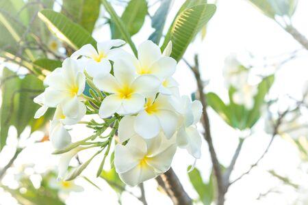 Group of white frangipani flowers on tree.( Pagoda tree, Temple tree) 스톡 콘텐츠