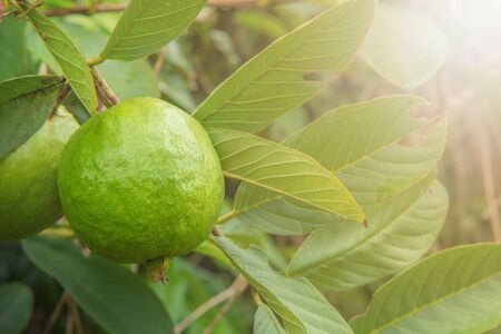 Green guava fruit on tree in agriculture farm.