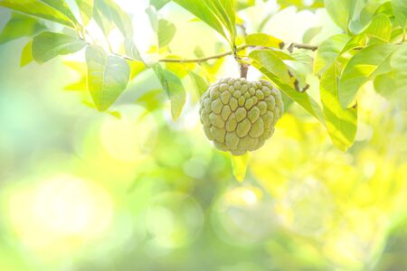 Custard apple fruit hanging on the tree branch. 免版税图像