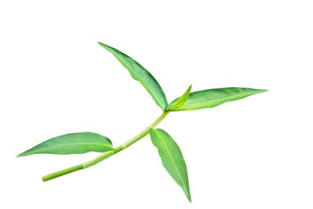 The top of green grass branch isolated on white background with clipping path. Banque d'images