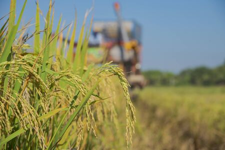Ear of rice with soft focus with blurred combine harvester background. Banque d'images