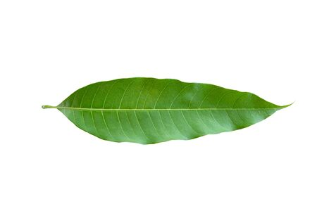 Mango leaf isolated on white background. Clipping path.