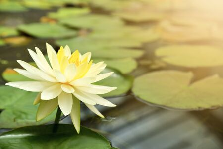 Yellow water lily blooming in pond.