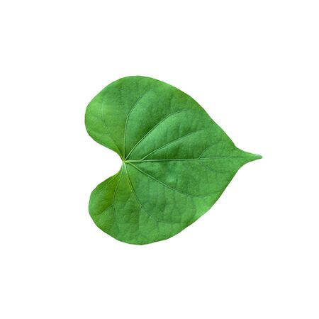 Heart shape green leaf isolated on white background. Banque d'images