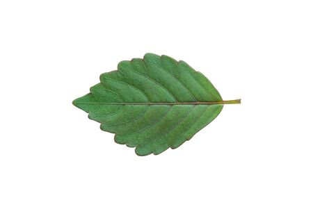Green leaf isolated on white background with clipping path.