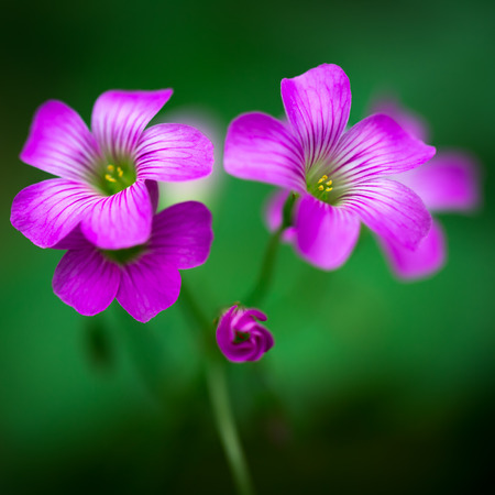 creeping woodsorrel: Closeup Pink oxalis oxalis corymbosa in garden
