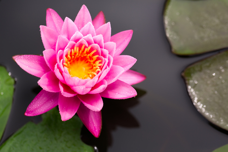 pink lily: Top view of Beautiful Pink Lotus in pond Stock Photo